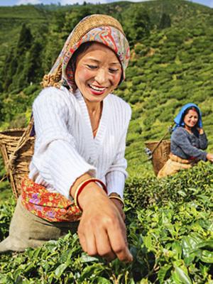 Arbeiter bei der Teeernte in Darjeeling, Indien
