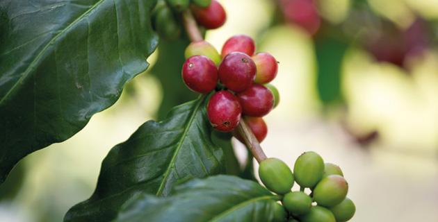 Das Kaffee Geheimnis – vom Anbau in die Tasse
