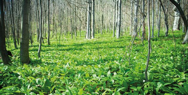 Bärlauch – Das beliebte Wunderkraut aus dem Wald