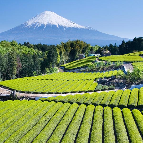 Die japanischen Tencha Teesträucher werden zur Matcha-Produktion verwendet