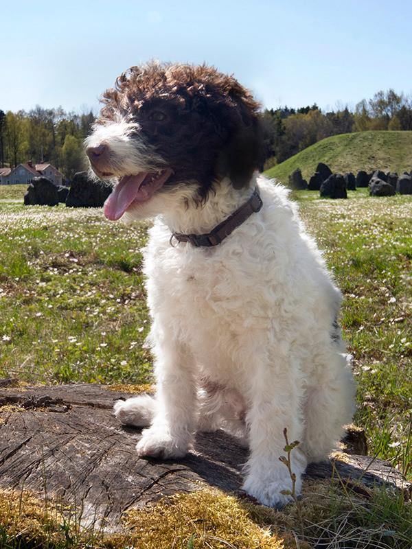 Der Lagotto Romagnolo gilt als der ideale Trüffelhund