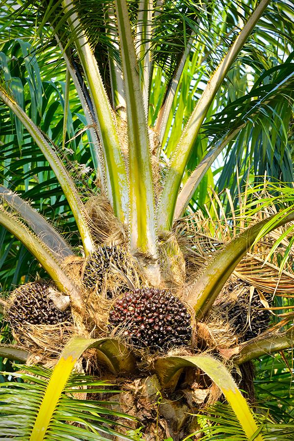 Palmöl steht in der Kritik - doch die Nachfrage steigt weiter