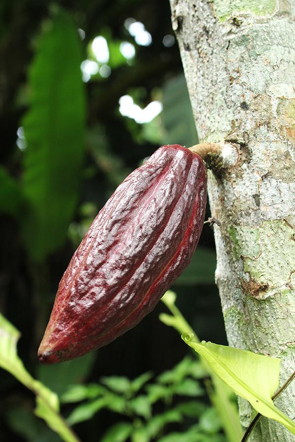 Der Stamm des Kakaobaums trägt zeitgleich Blüten und Früchte
