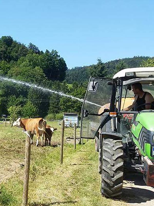 Der Bauer gönnt seinen Kühen eine Abkühlung