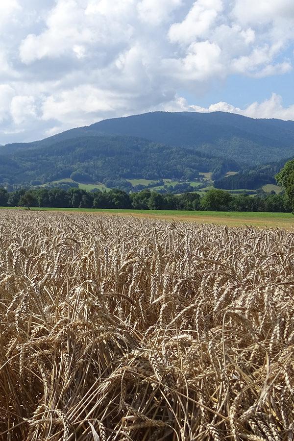 Schöner Ausblick über Getreidefelder
