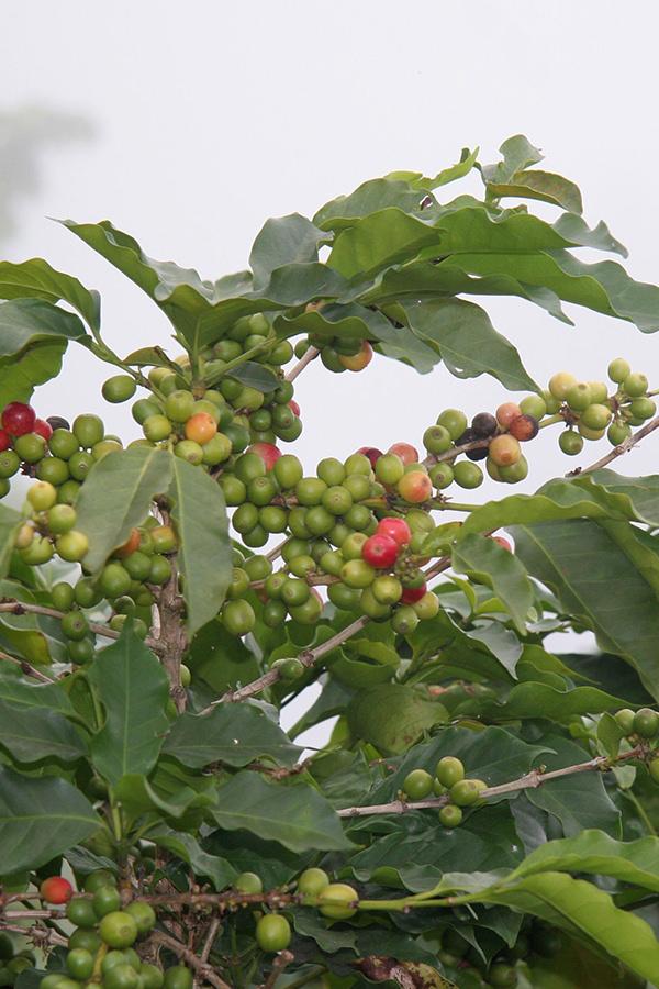Kaffee-Spetialitäten aus Kenia