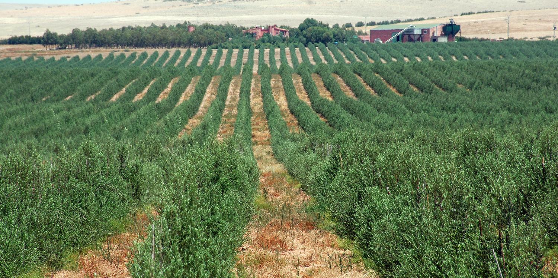 Othmane Aqallal: Die Olive – Die Bibel der Bäume